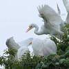 Feeding Great Egret Fledglings Is Violent 14 of 14