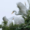 Feeding Great Egret Fledglings Is Violent 14 of 14