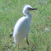 Cattle Egret Fledgling