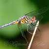 Immature Male Blue Dasher