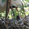 White Ibis Hatchling
