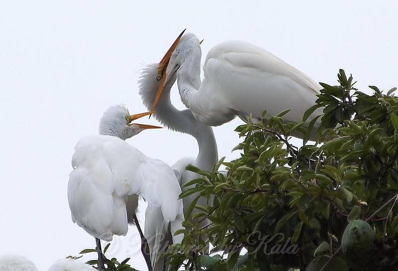 Feeding Great Egret Fledglings Is Violent 7 of 14