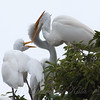 Feeding Great Egret Fledglings Is Violent 7 of 14