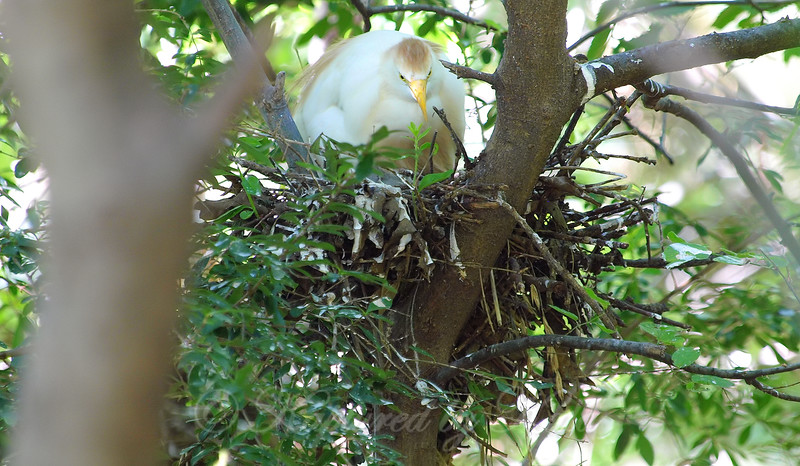 Small Egret, Big Nest