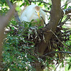 Small Egret, Big Nest