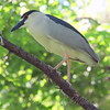 Night Heron Climbs Up The Tree