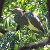 Tricolored Heron At The Rookery View 1