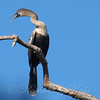 Female Anhinga In Breeding Colors View 2
