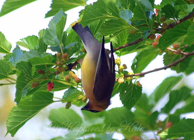 Upside Down On Mulberry Tree