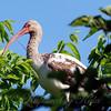 Juvenile American White Ibis View 1