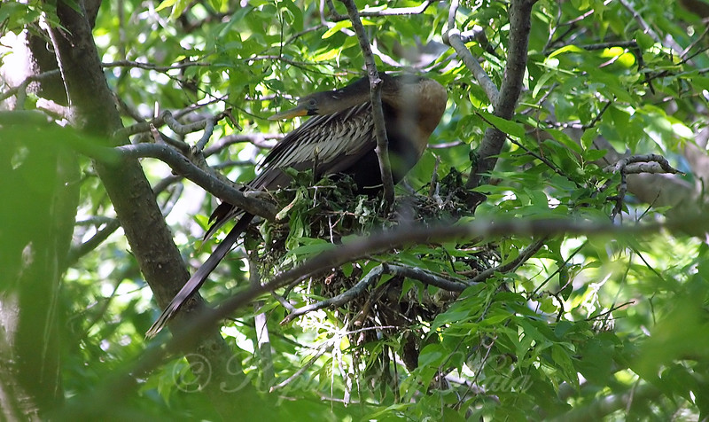 Better View Of The Anhinga Nest