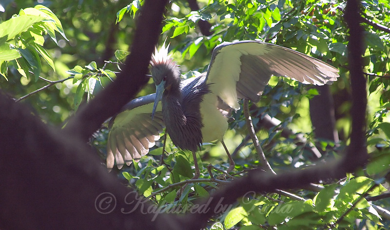 Tricolored Heron At The Rookery View 2