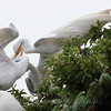 Feeding Great Egret Fledglings Is Violent 4 of 15
