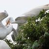 Feeding Great Egret Fledglings Is Violent 4 of 15