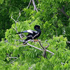 Anhinga Courtship Dance Part 2