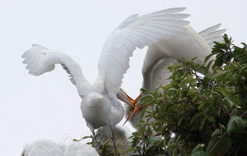 Feeding Great Egret Fledglings Is Violent 10 of 14
