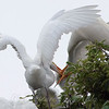 Feeding Great Egret Fledglings Is Violent 10 of 15