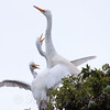 Feeding Great Egret Fledglings Is Violent 13 of 14