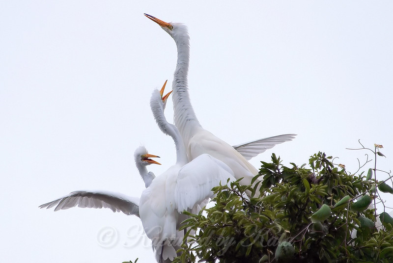 Feeding Great Egret Fledglings Is Violent 13 of 15