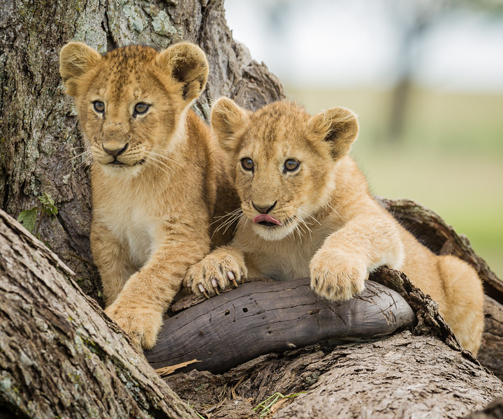 Waitin for breakfast. Two of six lion cubs wait on a downed tree while the female is  hunting. Serengeti National Park, Tanzania, May 2012.