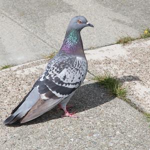Pigeon on Castro St