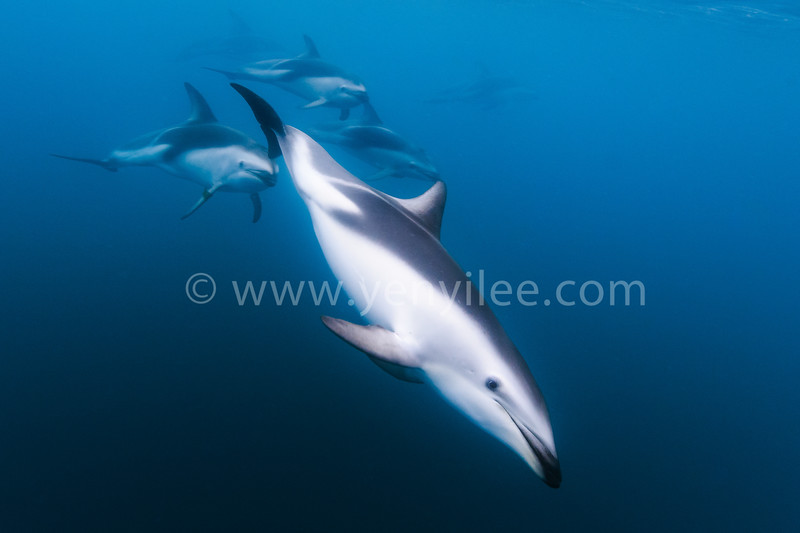 Dolphin Bombing  @ Kaikoura, New Zealand