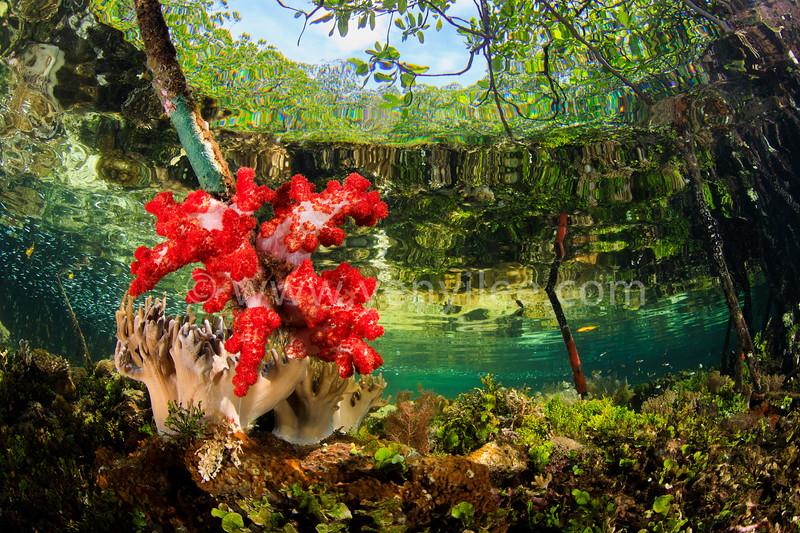 Colors of The Nature -- Mangrove (大自然的色彩 -- 紅樹林) @ Raja Ampat, Indonesia (印尼 四王群島)