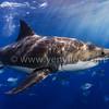 Emperor of The Sea (海中霸主) @ Neptune Island, South Australia (南澳洲 尼普頓島)