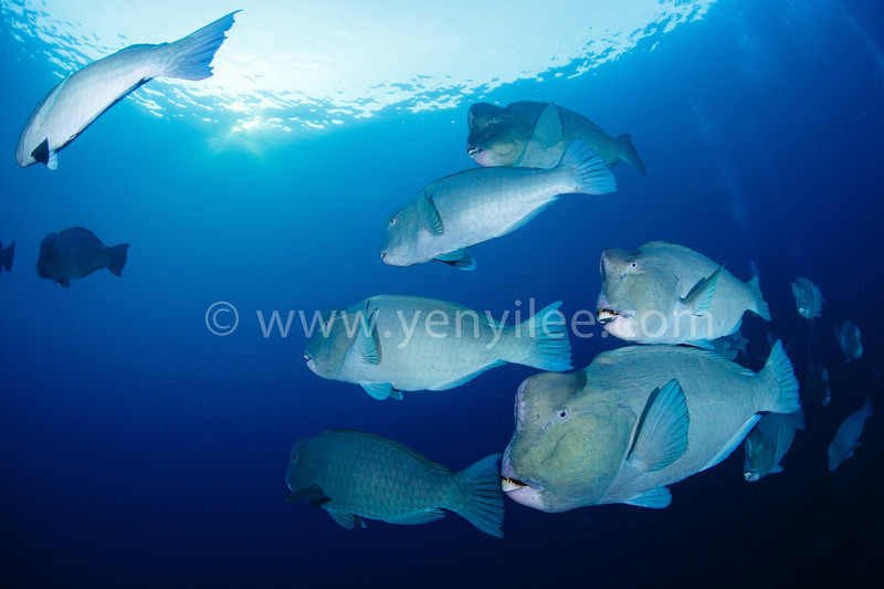 Bumphead Parrotfish @ Tulamben, Indonesia