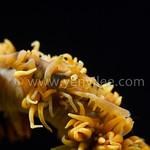 Golden Warrior (Whip Coral Shrimp)@ Tulamben, Indonesia