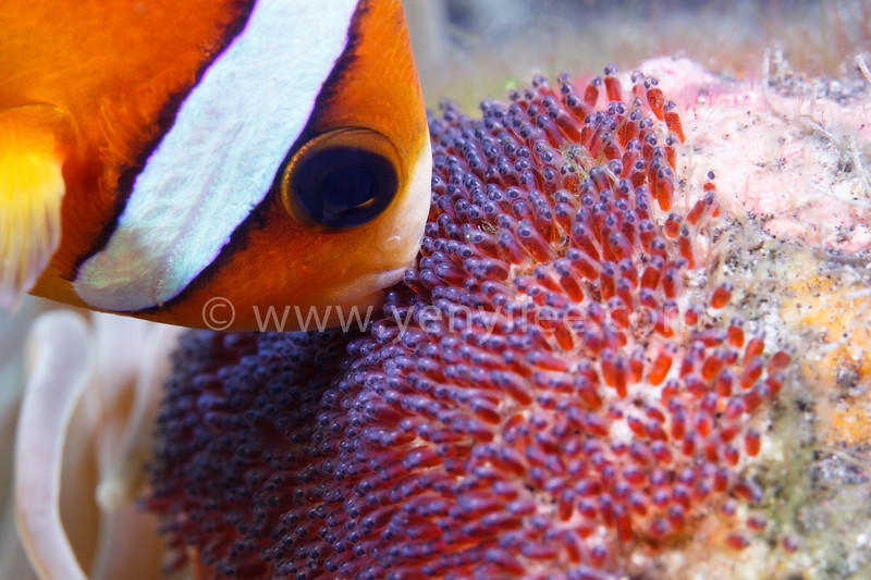Love (Clownfish Brooding Her Eggs) @ Tulamben, Indonesia