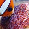 Love (Clownfish Brooding Her Eggs) @ Tulamben, Indonesia