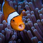 Clownfish Yawn @ Tulamben, Indonesia