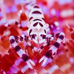 Coleman Shrimp Portrait @ Tulamben, Indonesia