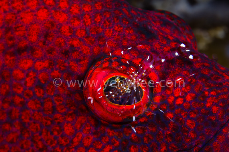 Eyedoctor (Grouper with Cleaner Shrimp) @ Tulamben, Indonesia<br /> Asian Geographic Issue 5, 2013.