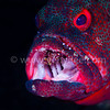 Dentist (A Grouper Being Groomed By A Cleaner Shrimp) @ Tulamben, Indonesia