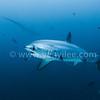 Thresher Shark (長尾鯊) @ Malapascua Island, Philippines