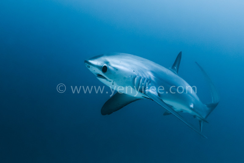 "Thresher Shark @ Malapascua Island, Philippines<br /> (shoot with ambient light at 32m depth)<br /> <br /> When hunting schooling fish, thresher sharks are known to ""slap"" the water, herding and stunning prey.  The elongated tail is used to swat smaller fish, stunning them before feeding.  All three thresher shark species have been listed as vulnerable to extinction by the World Conservation Union since 2007 (IUCN)."