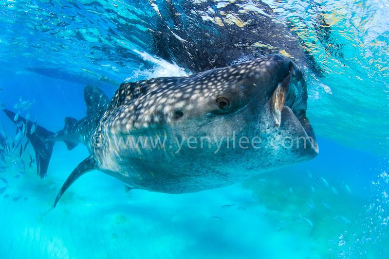 Whale Shark Swallowing @ Oslob, Cebu