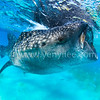 Whale Shark Swallowing @ Oslob, Cebu