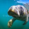 Hello! Manatee! (哈囉!海牛!) @ Crystal River, Florida, USA (美國 佛羅里達 水晶河)