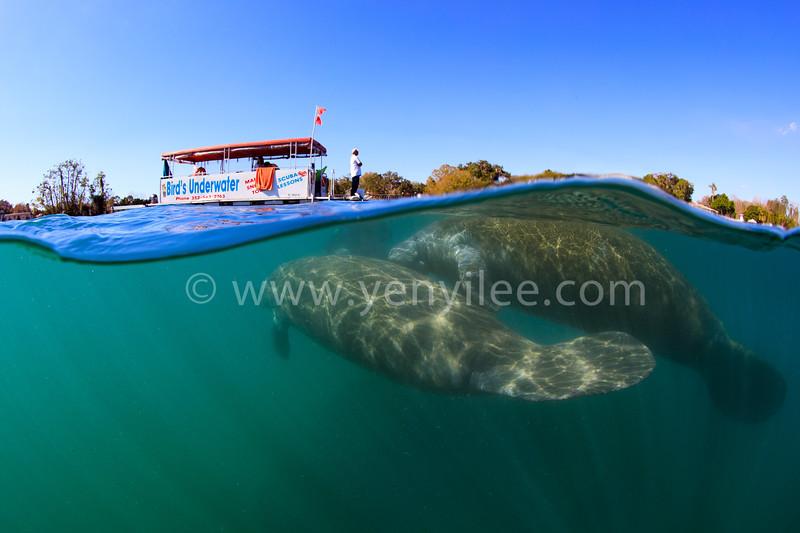 Gentle Giant (溫柔巨牛) @ Crystal River, Florida, USA (美國 佛羅里達 水晶河)
