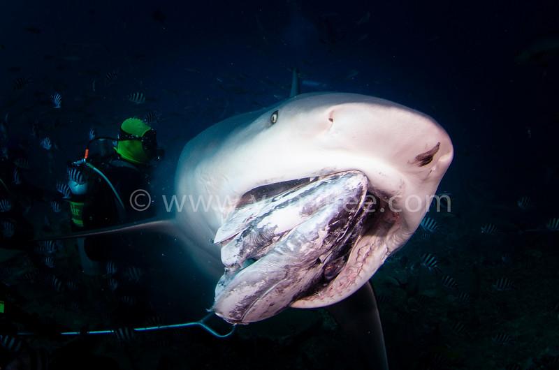 Bull Shark Feeding @ Beqa Lagoon, FIJI