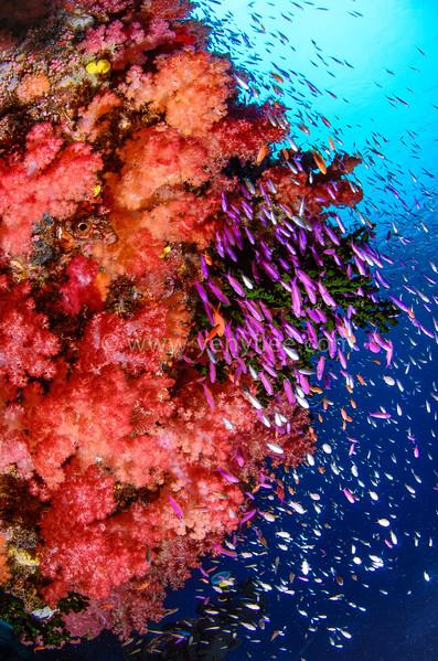Fiji - Soft Coral Kingdom