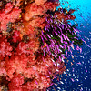 Fiji - Soft Coral Kingdom :