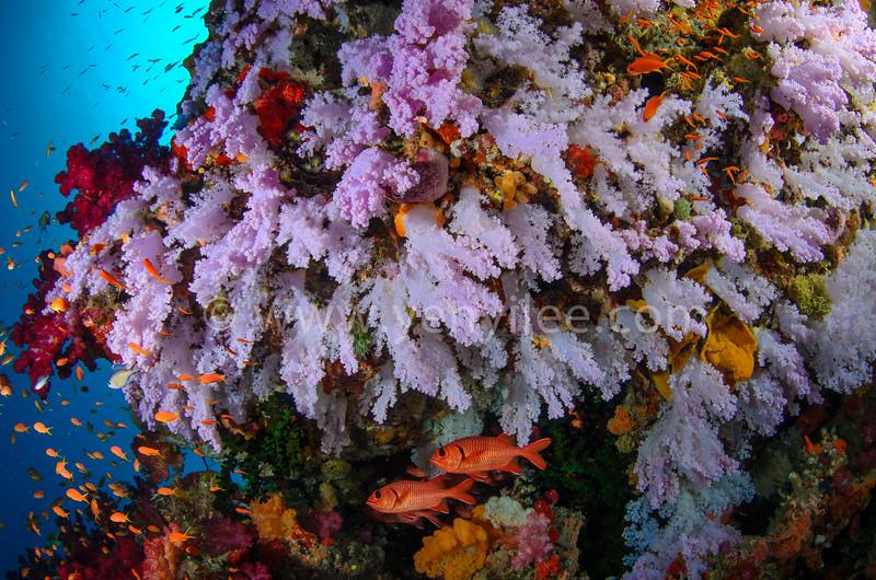 Coral Garden (珊瑚花園) @ Taveuni, Fiji (斐濟 塔妙妮島)