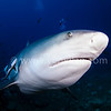 Bull Shark is coming!!<br /> @ Beqa Lagoon, FIJI