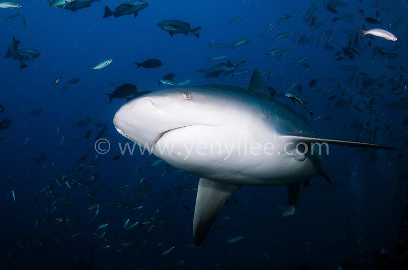 Bull Shark @ Beqa Lagoon, FIJI