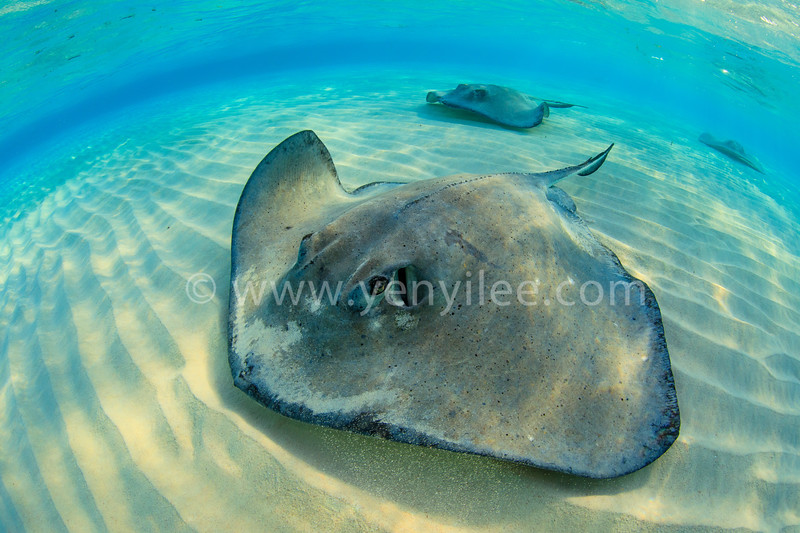 Stingray City (魟魚之都) @ Grand Cayman (開曼群島)