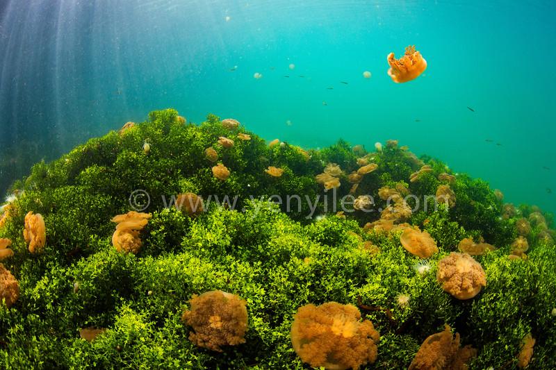 Jellyfish Lake @ Kakaban, Indonesia